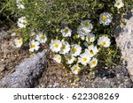 tiny white flowers blooming on... | Shutterstock . vector #622308269