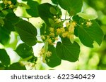 Blooming Linden  Lime Tree In...