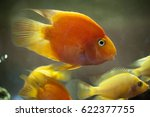 Yellow African Cichlid Fish An...