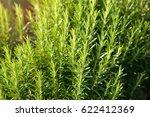 fresh rosemary herb grow...   Shutterstock . vector #622412369
