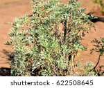 Small photo of Artemisia tree absinthium in the field