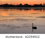 A Black Swan  Cygnus Atratus ...