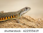 Image Of Butterfly Agama Lizar...