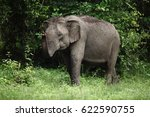 asian elephant test of smell at ... | Shutterstock . vector #622590755
