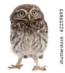Stock photo young owl standing in front of white background 62259895