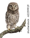 Stock photo young owl perching on branch in front of white background 62259919