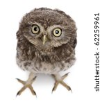Stock photo young owl standing in front of white background 62259961