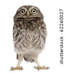 Stock photo young owl standing in front of white background 62260027