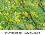 Small photo of Flowering of golden currant, other name Ribes aureum