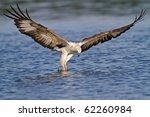 A White Bellied Sea Eagle...