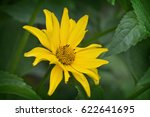 Small photo of one yellow flower helopsis closeup in green