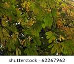 Horse Chestnut Tree Leaves In...