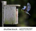 Bluebird Male With Grub Flies...