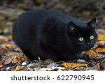 Stock photo a little black cat is in the autumn on the hunt 622790945