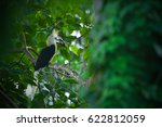 White Crowned Hornbill Eating...