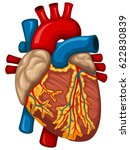 vector illustration of a human... | Shutterstock .eps vector #622830839