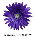 violet gerbera flower on white... | Shutterstock . vector #622831907