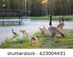 Canada Goose Family In The Park