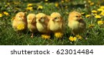 five cute yellow chicks in... | Shutterstock . vector #623014484