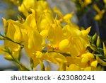 Flowering Shrub Gorse In Spain. ...