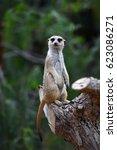 funny meerkat watching | Shutterstock . vector #623086271