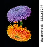 Small photo of Colorful yellow orange and violet floral fine art detailed macro of a pair of isolated flowering gerbera blossoms on black background - floral fantasy first contact couple taken in spring or summer