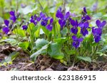 Small photo of Violet violets flowers bloom in the spring forest. Viola odorata