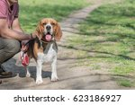 dog beagle breed standing on... | Shutterstock . vector #623186927