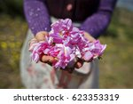 hand holding pink rose petals | Shutterstock . vector #623353319