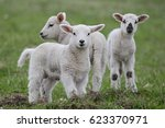 Youngh Lamb  Farmers Northland...