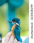 Small photo of Man showing Common Kingfisher (Alcedo atthis)