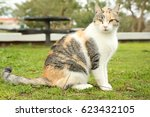 fat tricolor cat in the park ... | Shutterstock . vector #623432105