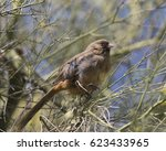 Small photo of Abert's Towhee in Phoenix Mountain Preserve