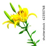 yellow lilly isolated over... | Shutterstock . vector #62350768