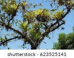 several bromeli from tree...   Shutterstock . vector #623525141