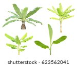 banana tree set isolated on... | Shutterstock . vector #623562041