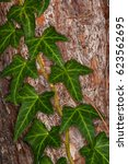 english ivy plant climbing on a ... | Shutterstock . vector #623562695