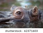 Close Up Shot Of Hippo's Eye I...