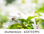 white flowers on a blossom... | Shutterstock . vector #623731991