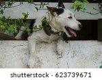 escaping jack russel terrier... | Shutterstock . vector #623739671