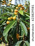Small photo of Spain, Canary Island, Fuerteventura, medlar tree