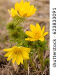 Small photo of Spring yellow flowers pheasant's eye (Adonis vernalis)