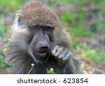 A Yellow Baboon cleans its teeth with a twig. - stock photo