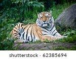 endangered amur tiger | Shutterstock . vector #62385694