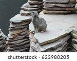 Meerkat Posing For The Camera