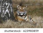 tiger | Shutterstock . vector #623983859