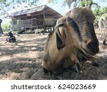 Portrait Of Goat Laying On A...