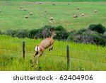 Wild Deer Jumping A Fence...