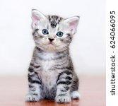 cute american shorthair cat... | Shutterstock . vector #624066095