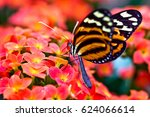 Stock photo tiger longwing heliconius ismenius 624066614
